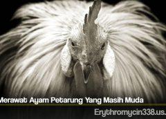 Cara Merawat Ayam Petarung Yang Masih Muda