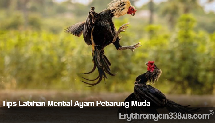 Tips Latihan Mental Ayam Petarung Muda