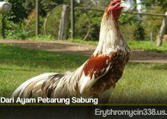 Jenis Dari Ayam Petarung Sabung