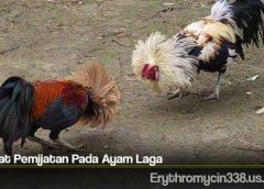 Khasiat Pemijatan Pada Ayam Laga