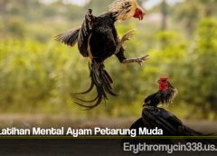Tips Latihan Mental Ayam Petarung Muda